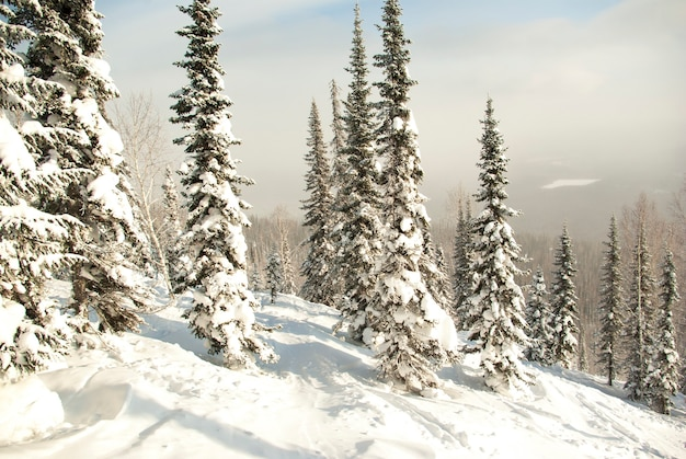 Winter forest in the mountains. ski track in the snow in the forest.