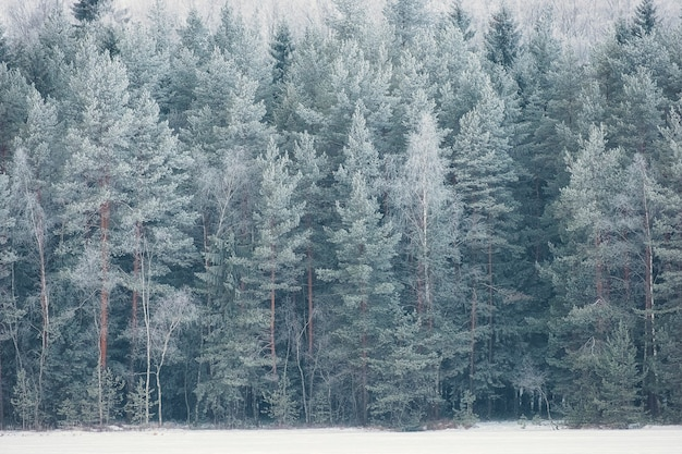 Winter forest in rime and snow in frost