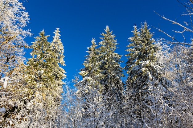 Winter forest on the uetliberg mountain