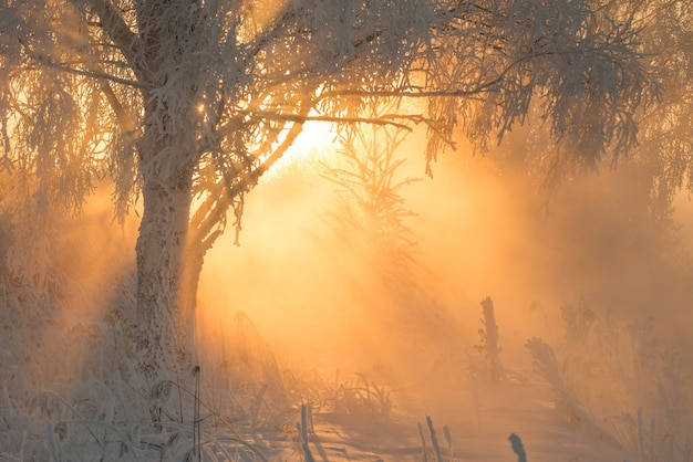 Winter forest with amazing sun beams in fog