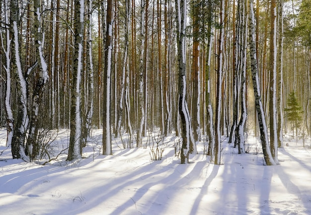 In the winter forest with snow-covered trees on a bright sunny day