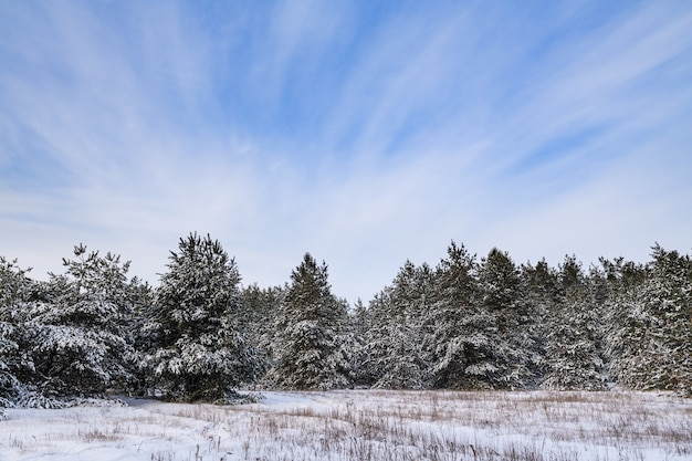 Winter forest wonderland background with fir trees covered by snow and blue cloudy vibrant sky during cold day