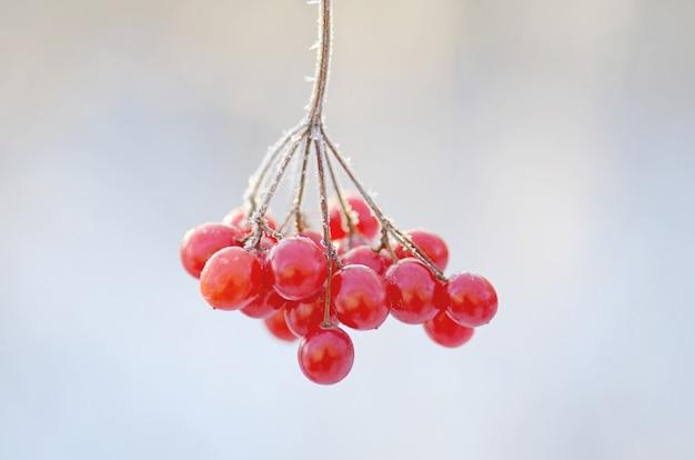 Winter frozen viburnum (guelder rose). red berries of viburnum.