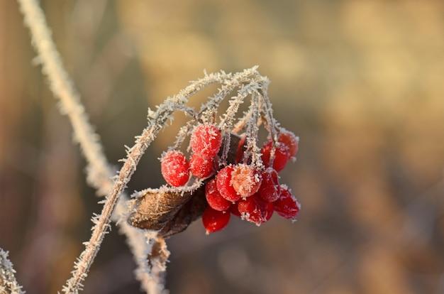 Winter frozen viburnum. red berries of viburnum.