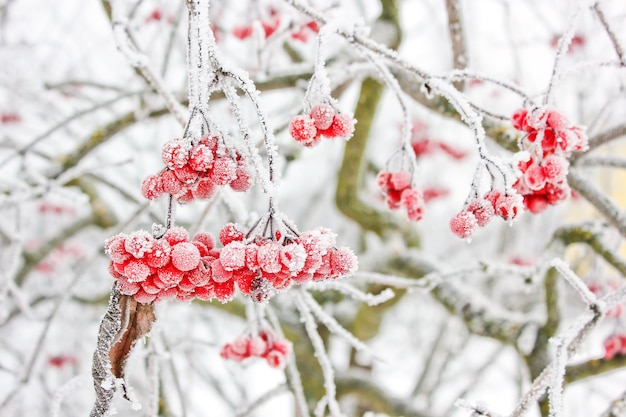 雪の下で冬の冷凍ガマズミ属の木。雪の中のガマズミ属の木。初雪。秋と雪。美しい冬
