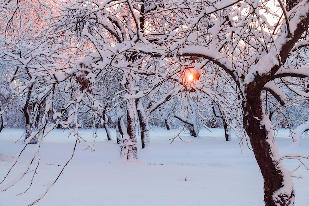 A winter garden,is a sun, dawn rays, snow