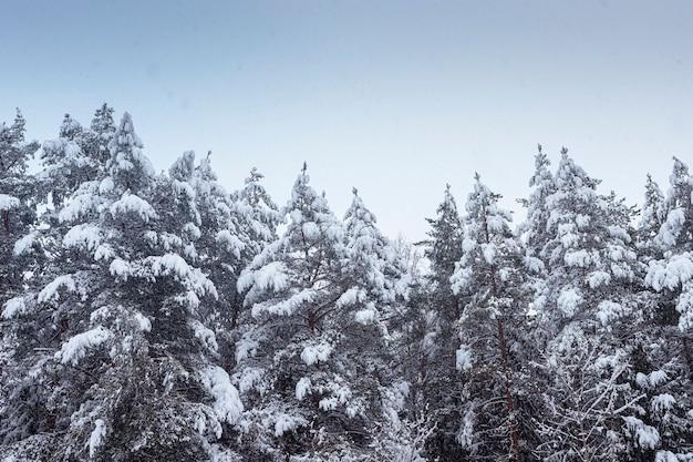 Зима в лесу с верхушками елей в снегу и голубом ясном небе. снежный пейзаж с копией пространства.
