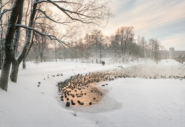 Winter lake with a narrow strip of water and many ducks in the c
