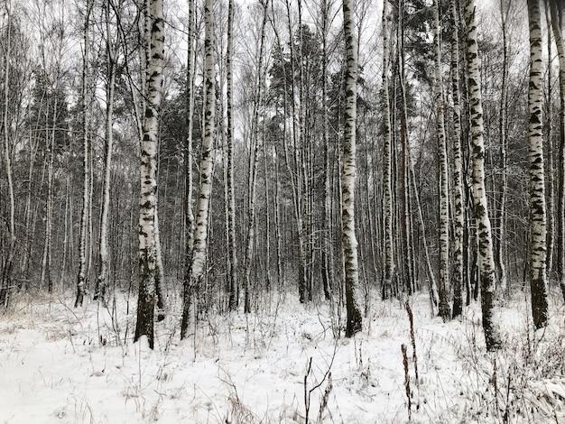 白樺の木立の冬の風景。雪に覆われた白樺の幹の自然