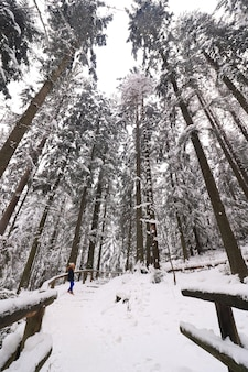 Winter landscape in the dense forest with high trees covered with snow