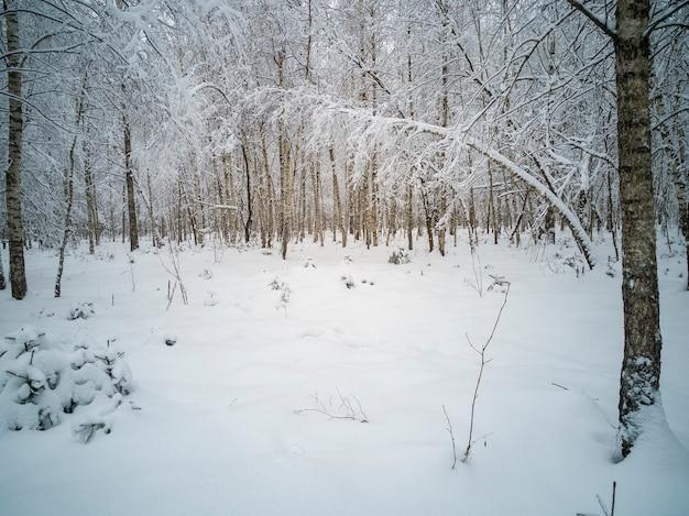 Winter landscape in the forest. birch grove