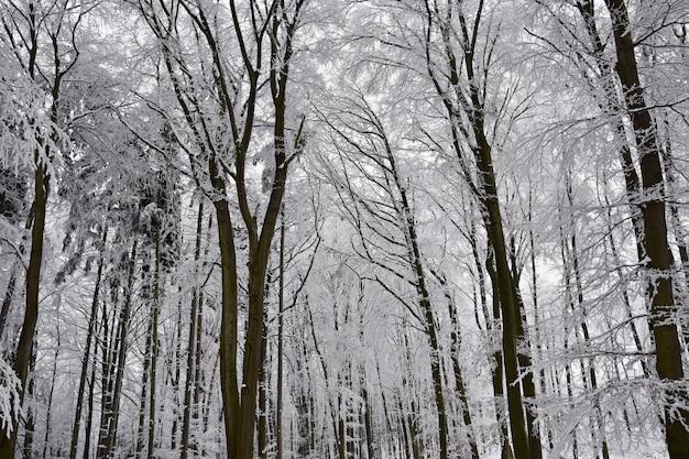 겨울 풍경-숲에 서리가 내린 나무. 자연은 눈으로 덮여 있습니다. 아름다운 계절 자연