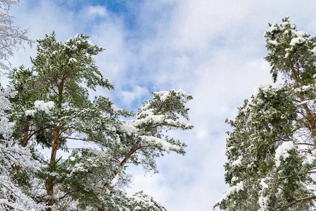 ラトビアの冬の風景。雪に覆われた森の木の枝。雪の中の木のてっぺん