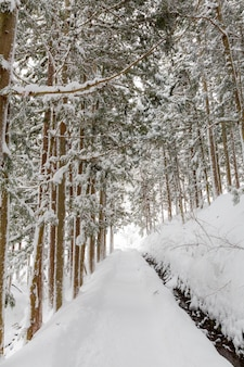 Winter landscape of pine forest
