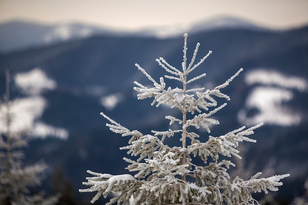 Winter landscape. tall pine tree alone on mountain snowy slope on cold sunny day on blurred background of dense spruce forest.