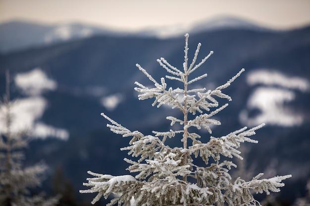 Зимний пейзаж высокорослая сосна одна на снежном наклоне горы на холодный солнечный день на запачканной предпосылке плотного елевого леса.