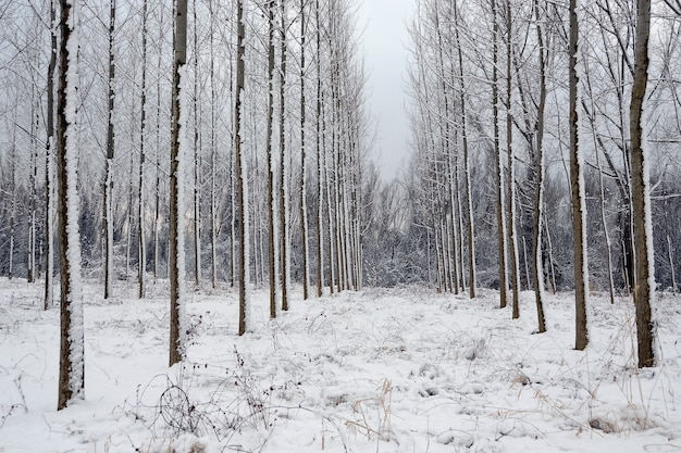Winter landscape, trees in forest in a row cover with snow
