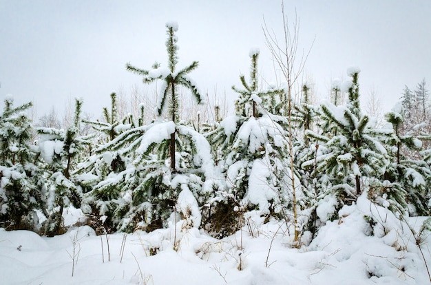 Winter landscape, trees in the snow