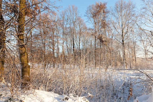 Winter landscape with different types of trees covered with white snow and frost in the winter season, a frosty day after a snowfall