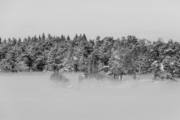 Paesaggio invernale con alberi sempreverdi innevati e fitta nebbia al suolo