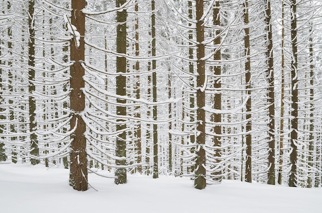 冬の雪に覆われた松林のある冬の風景
