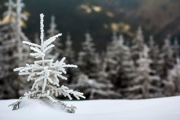 Winter landscape with snow covered small pine tree