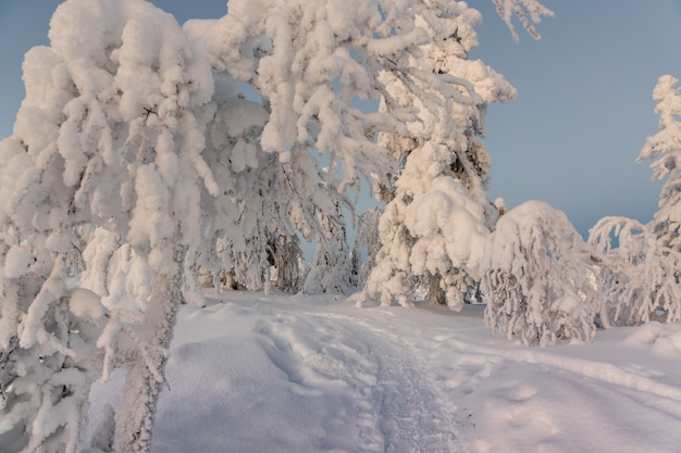Winter landscape with snow covered trees in winter forest.