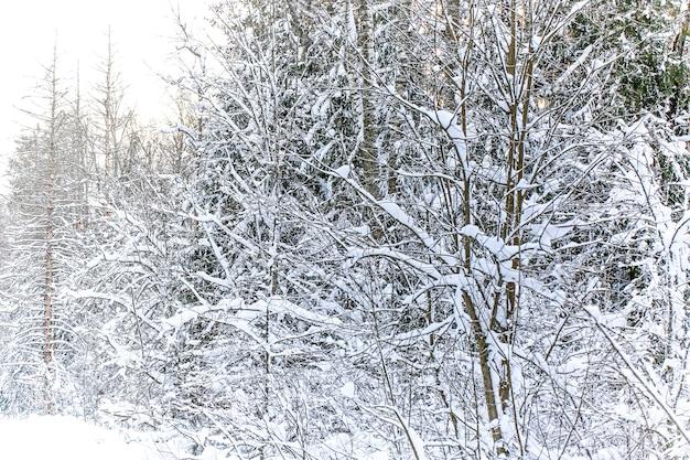 Зимний пейзаж с мягким выборочным фокусом. ель в заснеженном лесу.