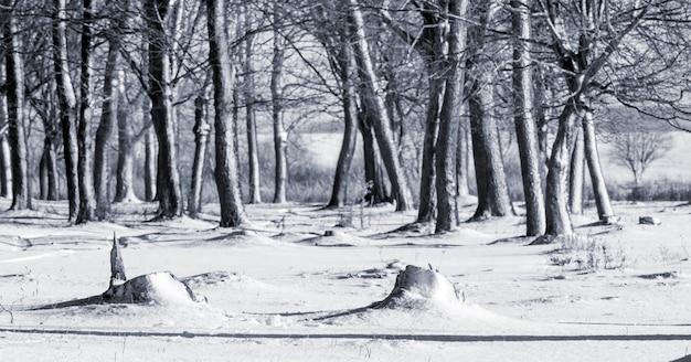 Зимний пейзаж с деревьями в лесу в солнечную погоду в черно-белом с голубым оттенком