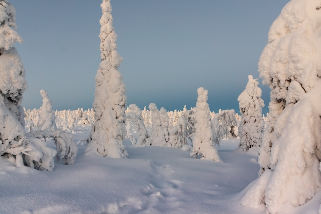Winter landscape with tykky snow covered trees in winter forest.