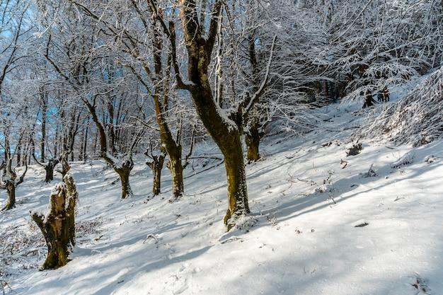 Oiartzun의 artikutza 자연 공원에있는 눈 덮인 너도밤 나무 숲의 겨울 풍경