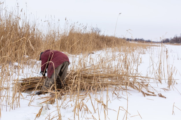 Winter. a man mows and collects dry reeds on an icy lake.
