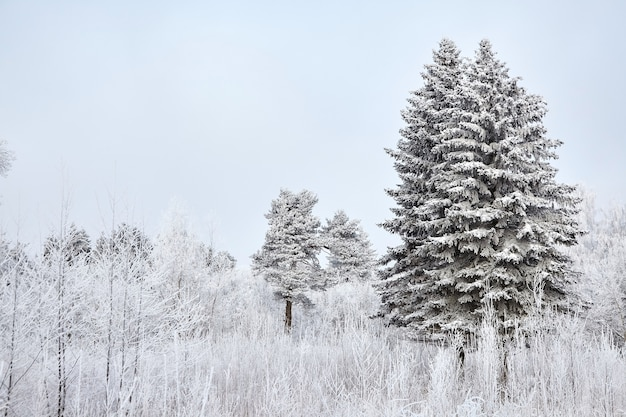Winter mixed forest trees covered with white snow