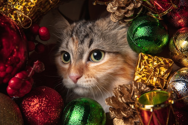 冬の気分。新年の装飾でソファに座っているシベリア猫の美しい子猫。