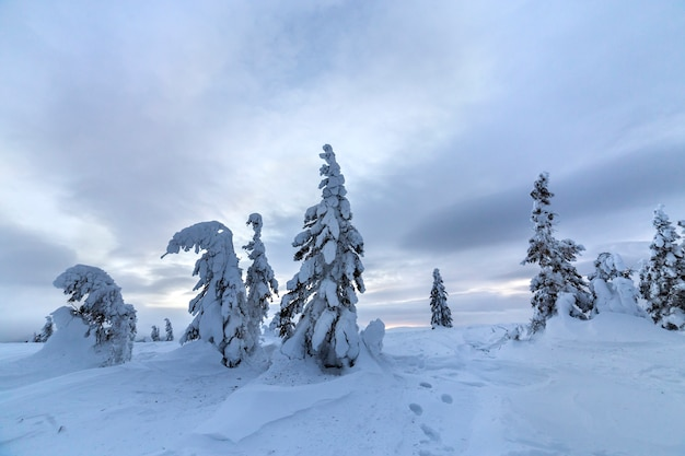 Winter mountain blue landscape. small spruce trees in deep snow on bright cloudy sky