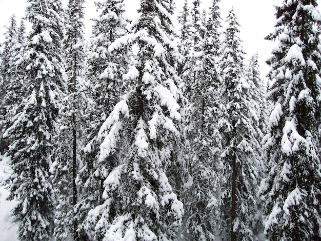 Winter mountain landscape and spruce covered with snow
