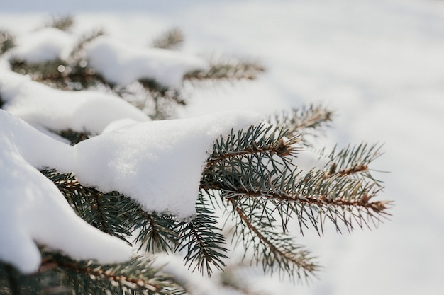 Winter natural pine branches in snow