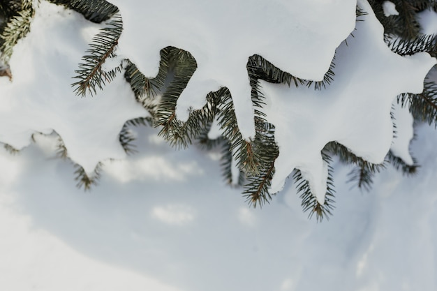 Winter natural tree with pine branches in snow background