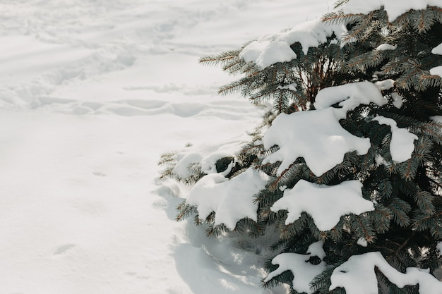 Winter natural tree with pine branches in snow