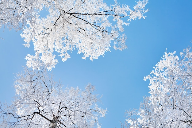 Winter nature, birch covered with hoarfrost in forest