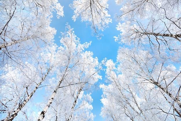 冬の自然、白樺が霧氷で覆われています