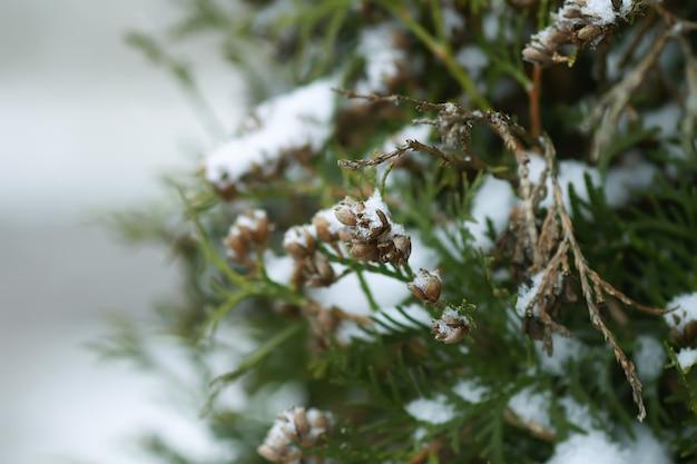Детали зимней природы в сельской местности. ветви деревьев туи в снегу.