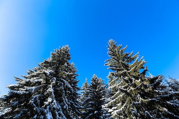 雪の下で山と松の木の冬