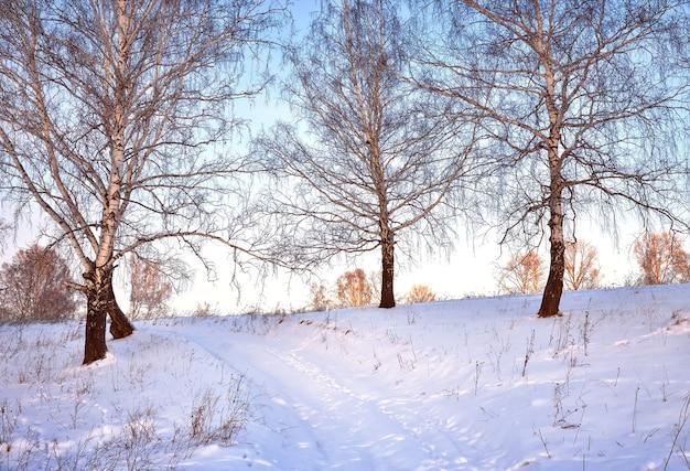 白樺の間の冬の小道。雪の中の木の幹が朝の光に漂う