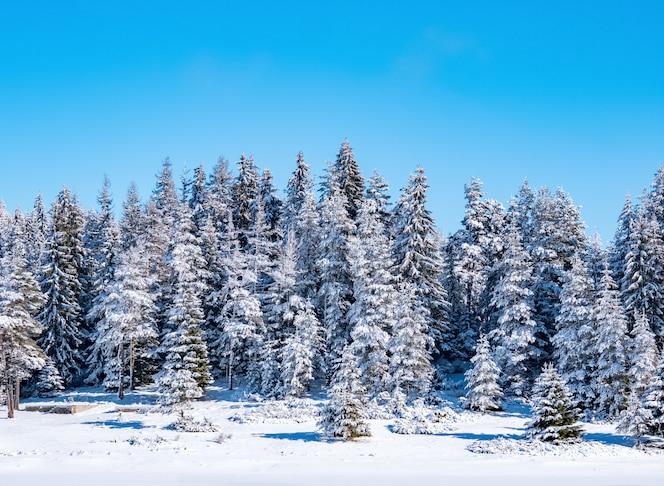 зимний сосновый лес природа фон