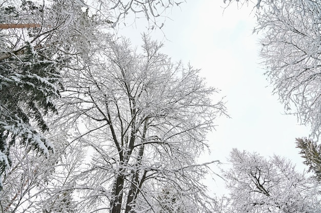 Winter pine forest under snow,