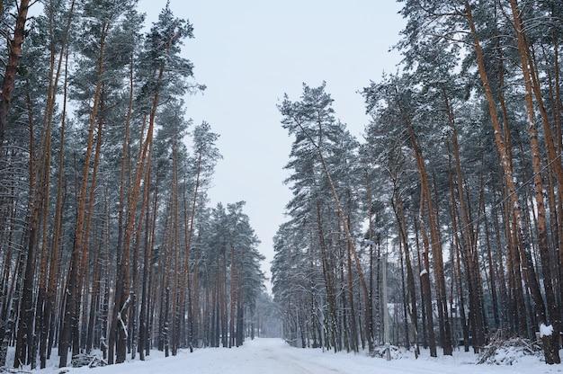 雪と霜の天気で冬の松林