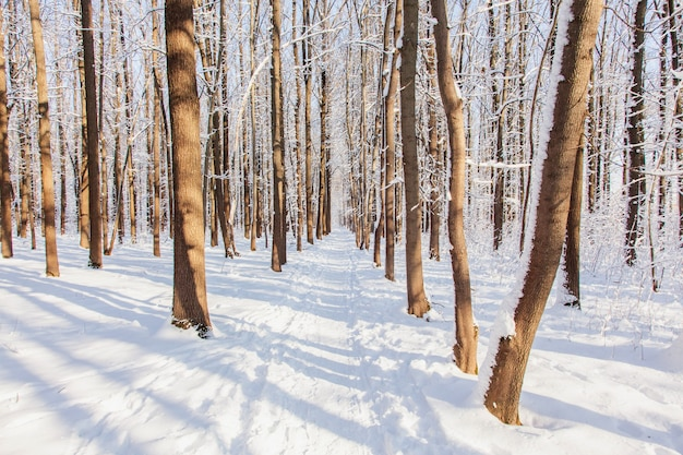 Winter pine forest with snow on trees and floor in sunny day.