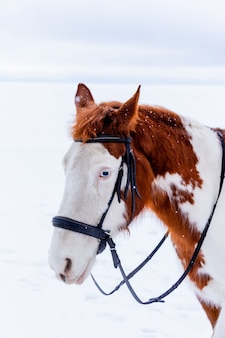 Winter portrait of a beautiful white and brown horse with blue eyes standing on the ice of a frozen lake