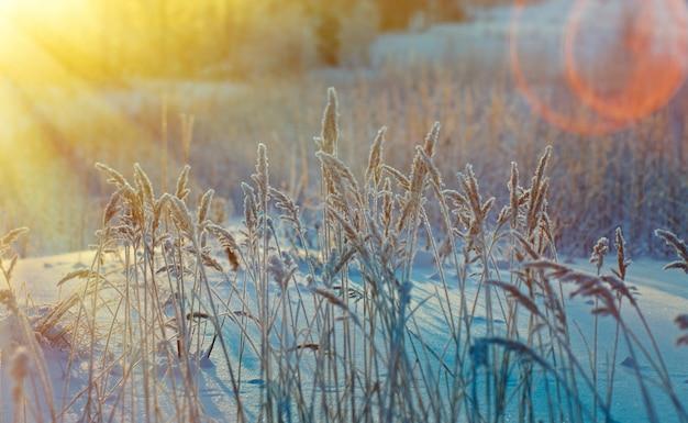 冬のシーン。凍った花。松林と日没
